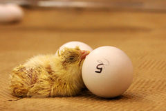 Young Chick. A really newly hatched chick Stock Photography