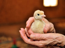 Young Chick Old Chick. This two day old turkey chick probably has less of a life ahead of him than the elderly woman who beholds him in this turkey barn Royalty Free Stock Photo