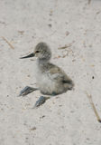 Young chick of Pied Avocet Royalty Free Stock Photo
