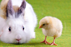 Young Chick and Rabbit Royalty Free Stock Image
