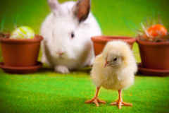 Young Chick and Rabbit Stock Image