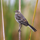 Young chick on  white wagtail cane. Royalty Free Stock Images