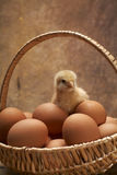 The young chicken. Young chicken in a basket with eggs Royalty Free Stock Image