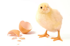 Young chicken. Newborn small chicken on white Royalty Free Stock Photo