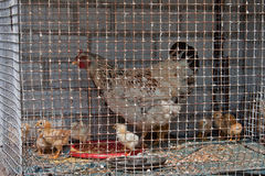Young chicken. Many young chickens in a cage Stock Image