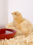 Young Chicken Animal Poultry in Bedding. One Newborn Chicken stands by the water supply Stock Photo