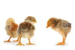 Young chicken Stock Photos