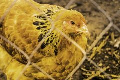 Chickens close-up breed Brahma royalty free stock photo