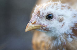 Young Chicken. With developing feathers against a blurry background Stock Image