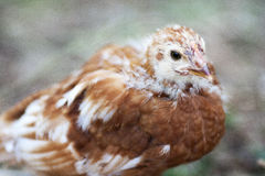 Young Chicken. With developing feathers against a blurry background Stock Images