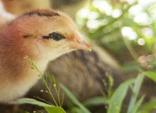 Young Chicken. With developing feathers against a blurry background Royalty Free Stock Photo