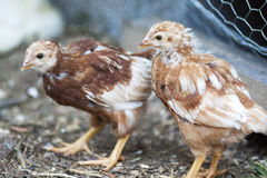 Young Chicken. With developing feathers against a blurry background Royalty Free Stock Images