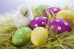 Young chicken and easter eggs on soft background Royalty Free Stock Photos
