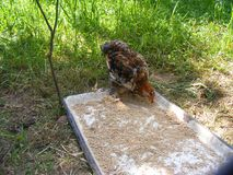 Domestic young Chicken Eating Grains and Grass royalty free stock images