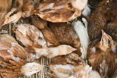 Young chicken group resting Royalty Free Stock Photos