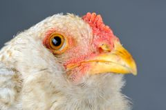 Young Chicken Head Closeup Stock Photos