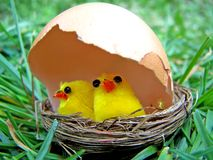 Young chicken in the nest. Protected by a natural egg shell Stock Images