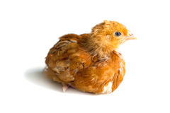Young chicken Royalty Free Stock Image