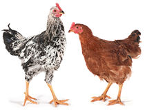 Young chicken and rooster Royalty Free Stock Images