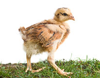 Young chicken walking on the grass Royalty Free Stock Images