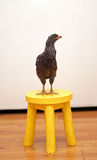 Young chicken on yellow stool Royalty Free Stock Images