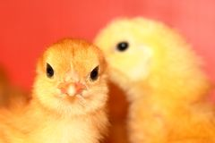 Young Chickens royalty free stock photo