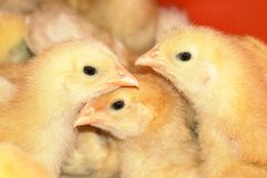 Young Chickens Stock Photo