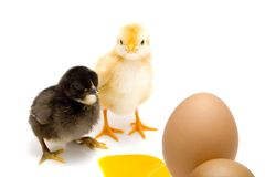 Young chickens. Two chickens isolated on a white and eggs - eestern concept stock image