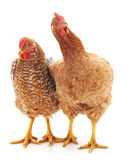 Young chickens. Young brown chickens on a white background Stock Photography