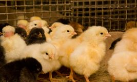 Young chickens in a cage Royalty Free Stock Photography