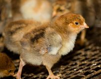 Young chickens in a cage Royalty Free Stock Photo