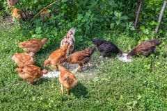 Young chickens consume food on a farm yard_. Young chickens consume food on a farm yard stock photography