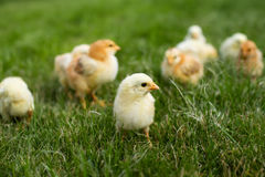 Young chickens in the grass Royalty Free Stock Photo