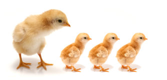 Young chicks. Chicks isolated on a white Royalty Free Stock Photos