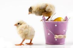 Young Chicks around Bucket Stock Photos