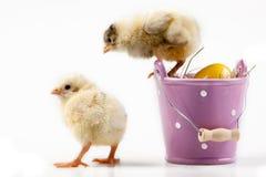 Young Chicks around Bucket Stock Photos
