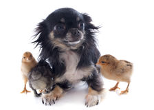 Young chicks and chihuahua Royalty Free Stock Photography