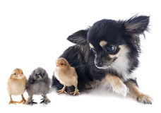 Young chicks and chihuahua Stock Photography