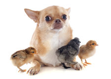 Young chicks and chihuahua Stock Photos