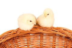Young chicks - easter concept Royalty Free Stock Photography