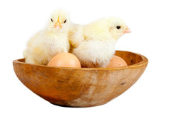 Young chicks - easter concept Stock Photos