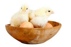 Young chicks - easter concept Stock Photos