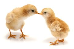 Young chicks - easter concept. Two nice chickens on white - easter concept Stock Photos