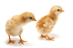 Young chicks - easter concept Royalty Free Stock Images