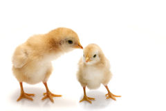 Young chicks - easter concept. Two nice chickens on white - easter concept Royalty Free Stock Photography