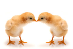Young chicks - easter concept Royalty Free Stock Image
