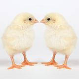 Young chicks - easter concept Stock Photography
