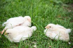 Young chicks in grass Royalty Free Stock Photography