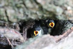 Young chicks of great tit Parus major with open mouth in nest royalty free stock image
