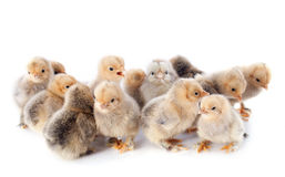 Young chicks Stock Images